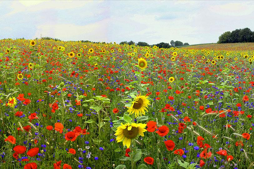 Flowers such as poppies and sunflowers in a field